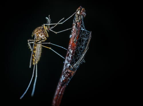 Close-up Photography of Brown Mosquito on Stick