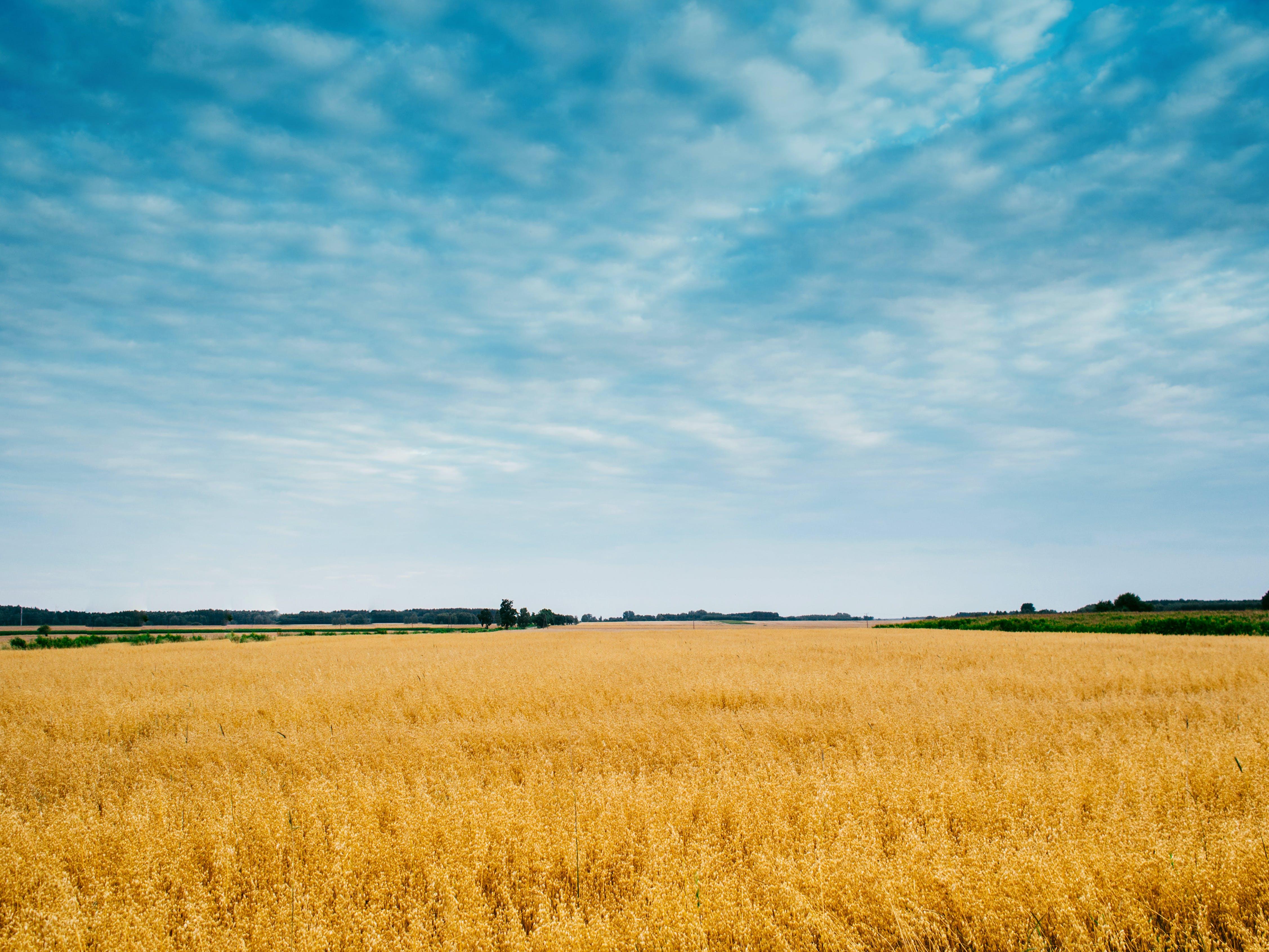 Foto profissional grátis de área, campo de milho, céu
