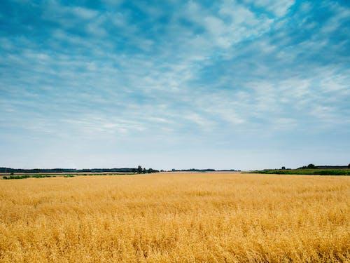 Základová fotografie zdarma na téma hřiště, kukuřičné pole, obloha, pole
