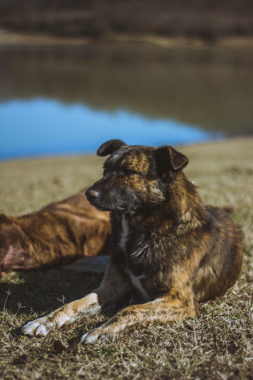 Brindle Dog