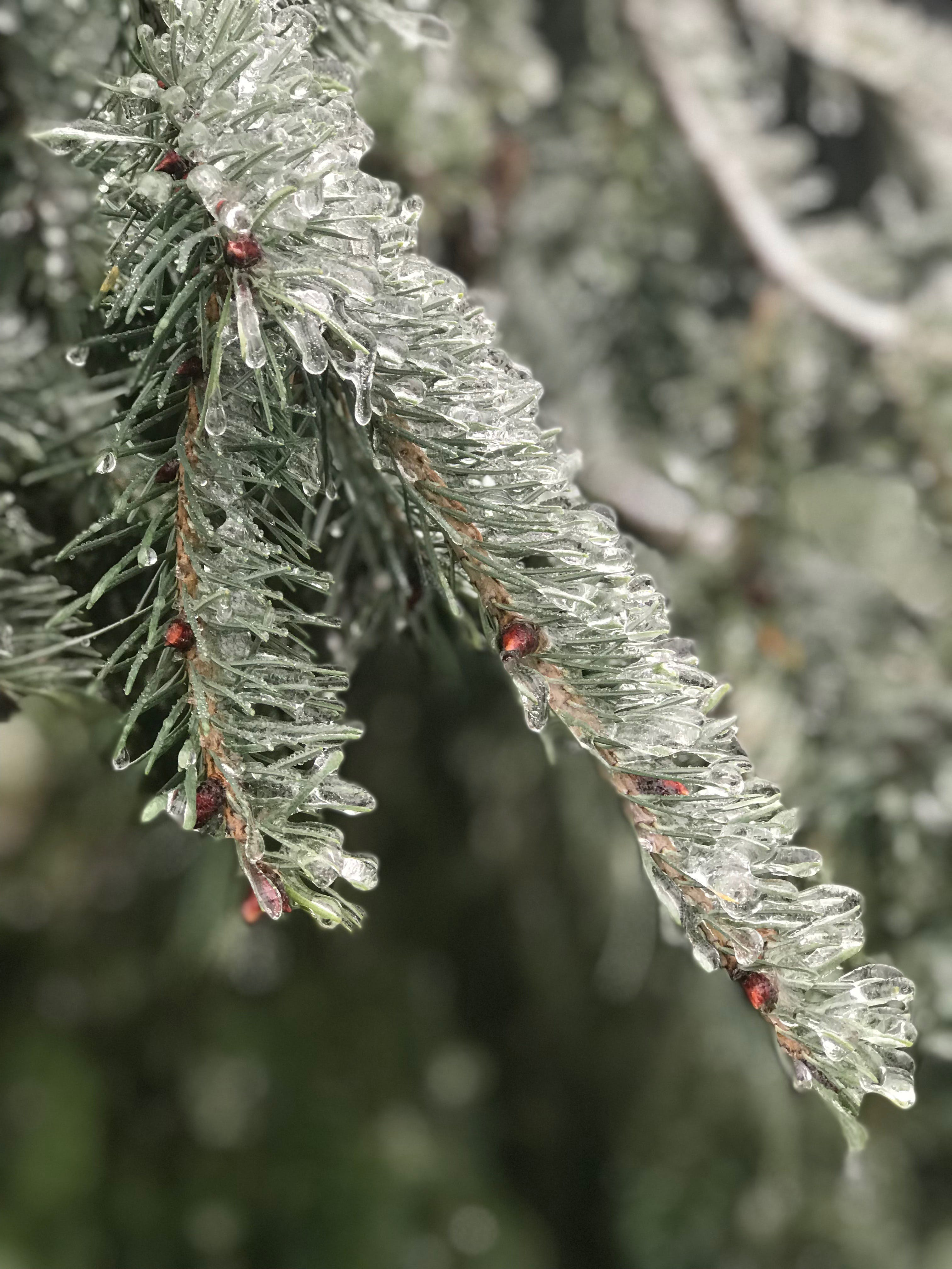 シーズン, モミ, 冬, 凍るの無料の写真素材