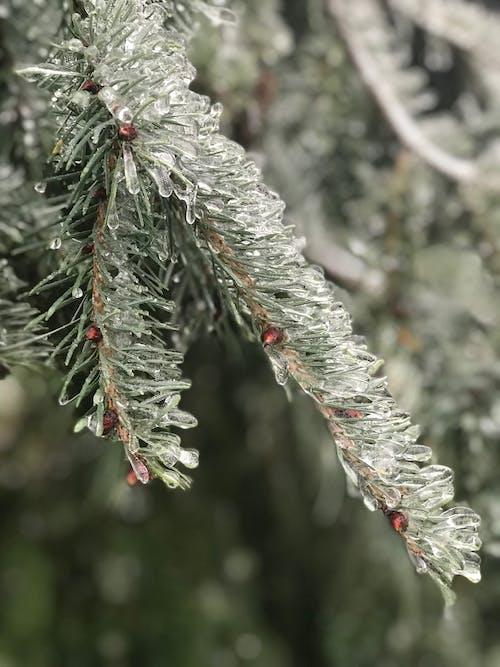 Foto profissional grátis de abeto, árvore, close, congelado