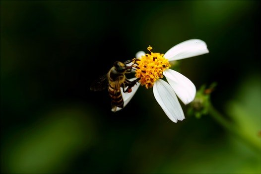 Macro Photography of Bee on White Petal Flower
