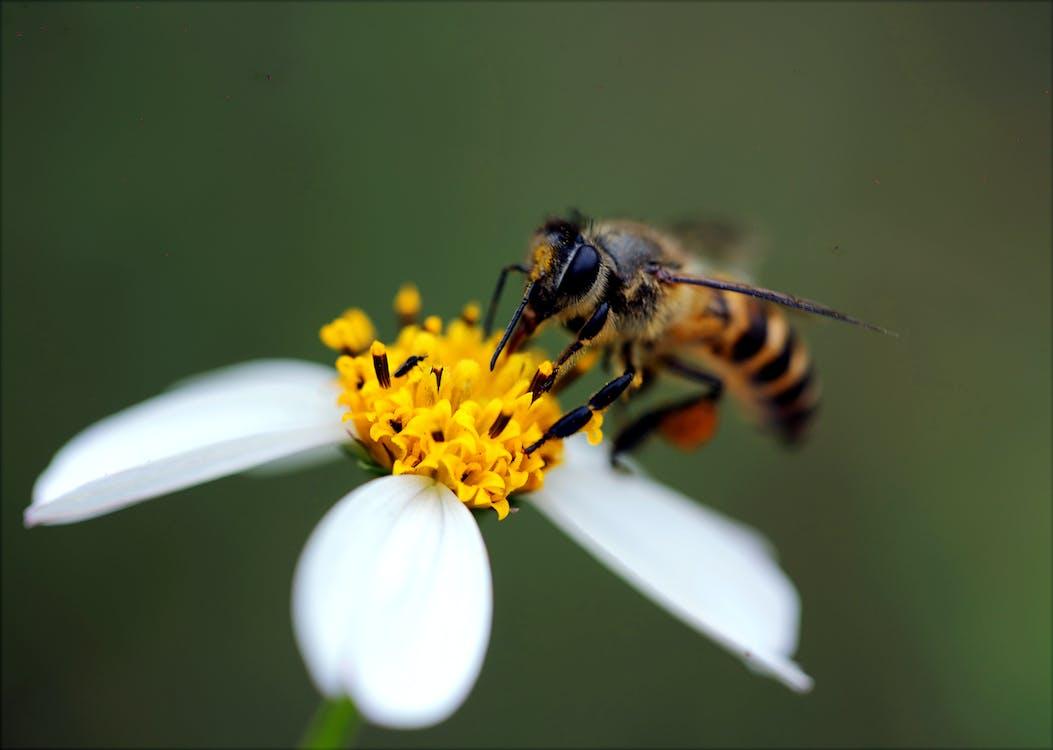 bestøvning, bi, blomst