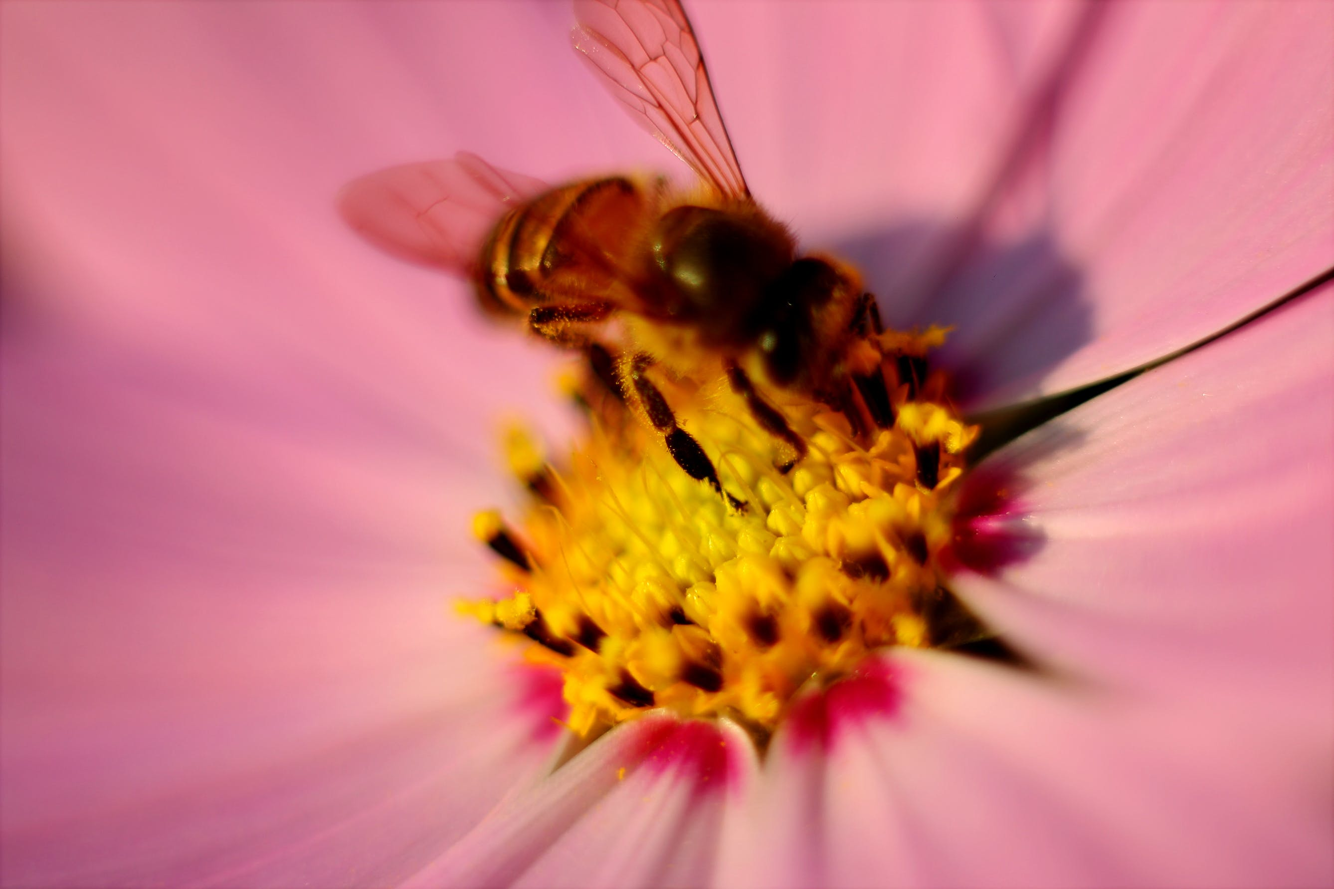 Tilt Photography of Brown Honey Bee on Pink Petaled Flower Pollen