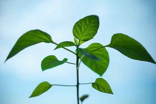 Ảnh lưu trữ miễn phí về màu xanh lá, môi trường, ớt cựa gà, sự phát triển
