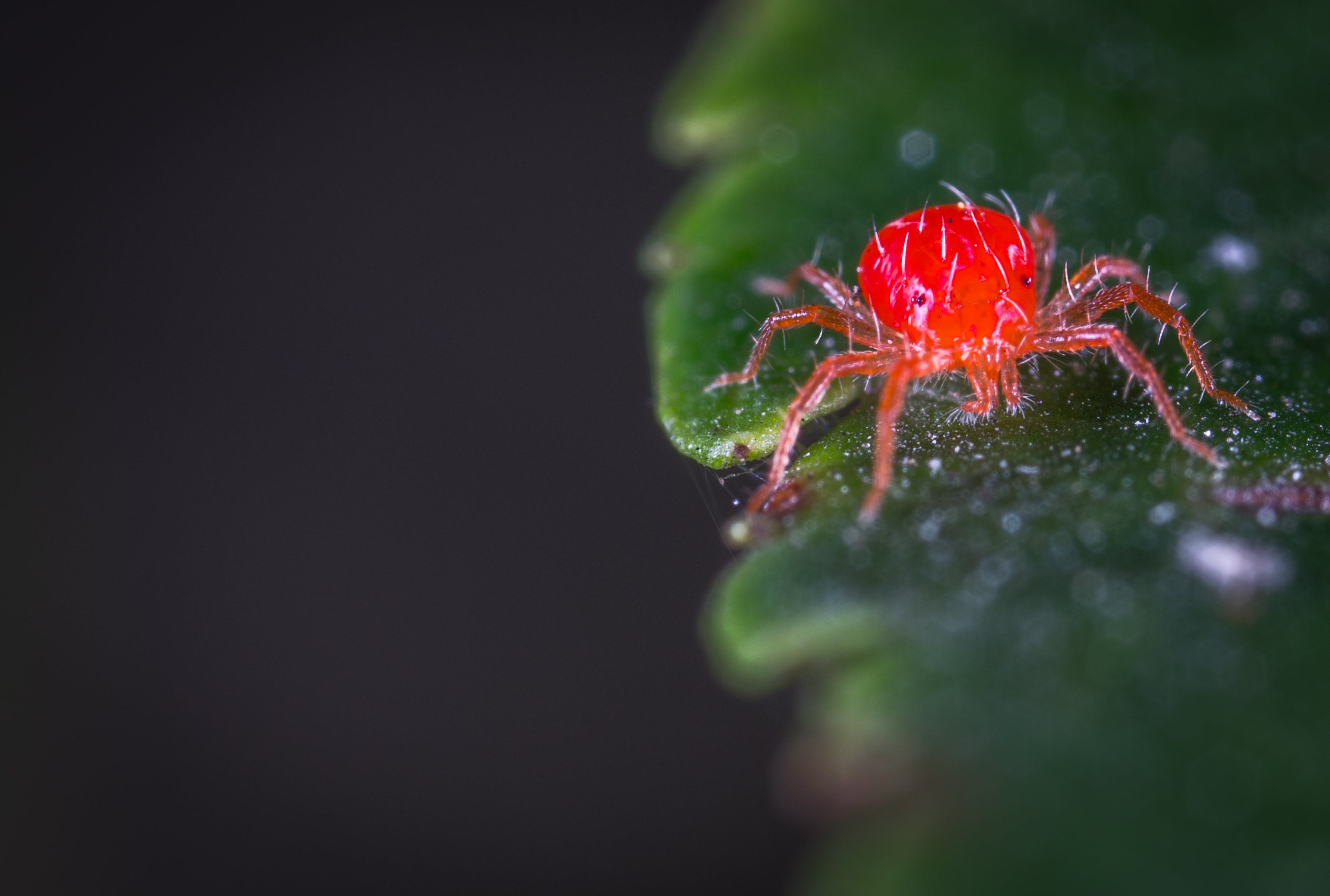 Immagine gratuita di acari di ragno rosso, ambiente, animale, aracnide