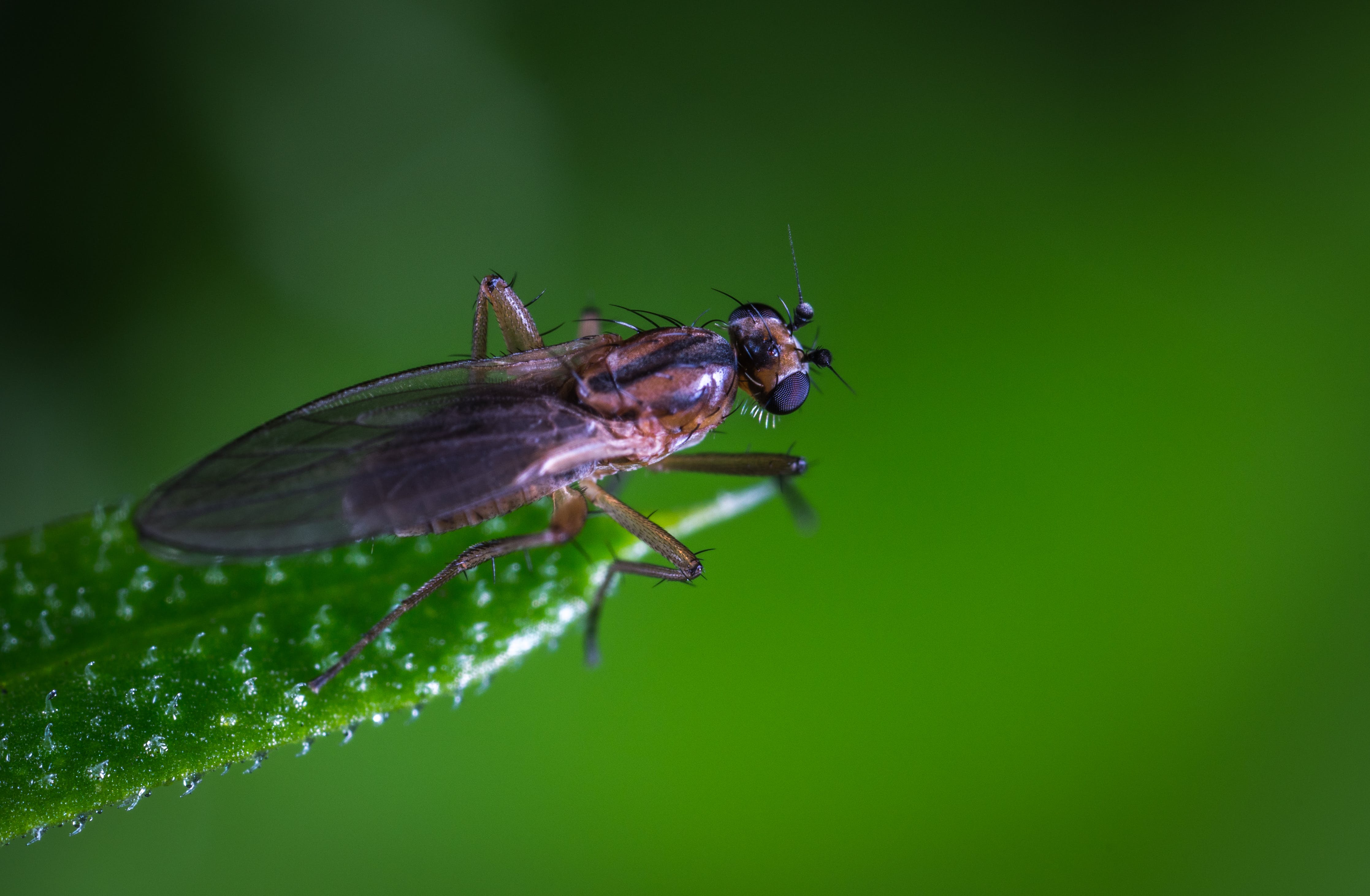 Macro Photo of a Brown and Black Fly on Green Leaf