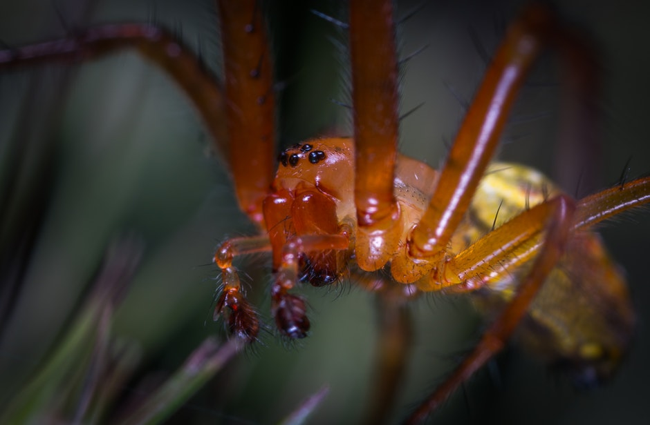 Macro Photo Of A Orchard Spider