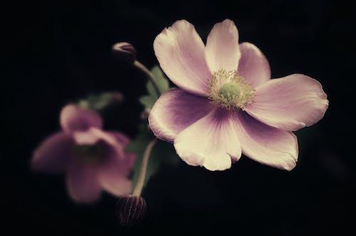 Kostenloses Stock Foto zu anemone, ausdauernd, blatt
