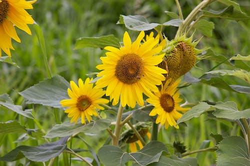 Ảnh lưu trữ miễn phí về girasol, hoa hướng dương, màu, màu vàng