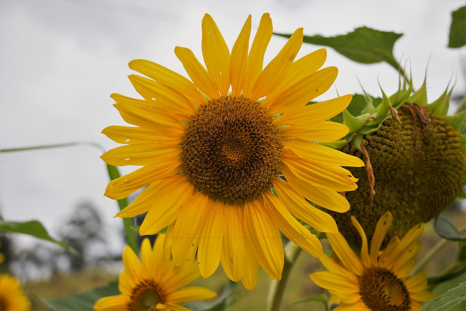Yellow and Brown Sunflower Field Under the Cloudy Skies