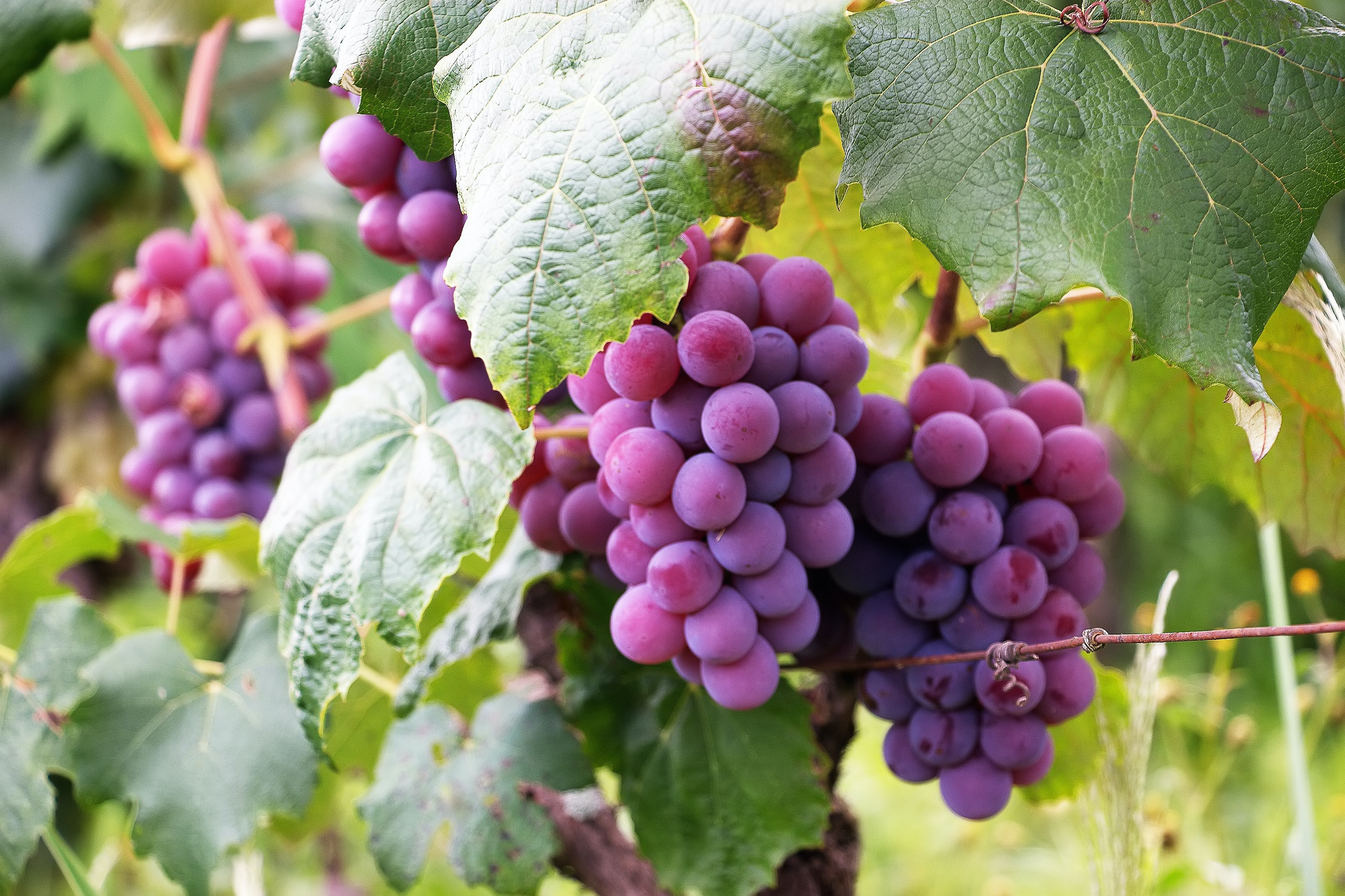several bunch of grapes free stock photo