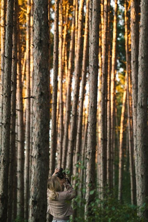 Free stock photo of bark, conifer, dawn
