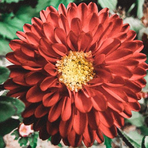 Close-Up Photo of a Red Dahlia Flower