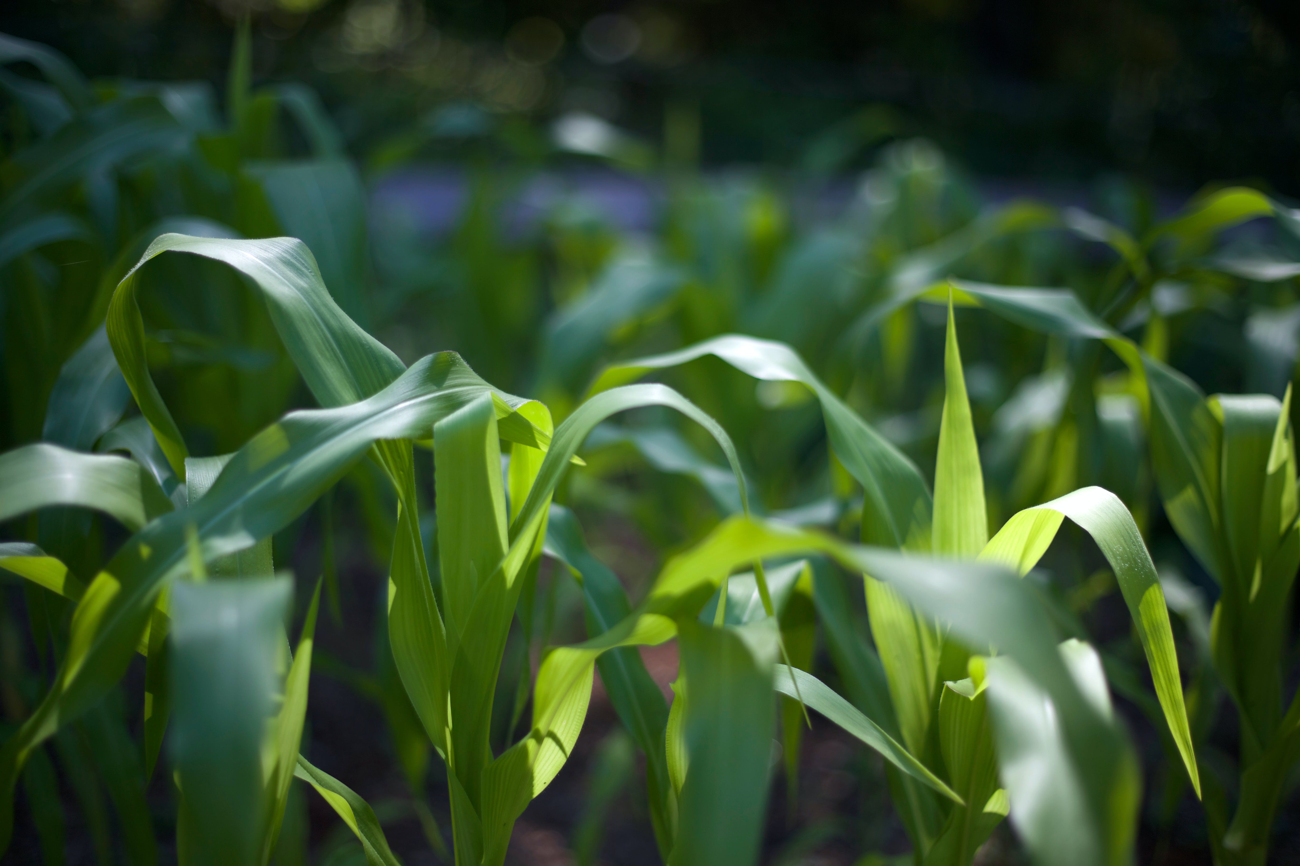Selective Focus Photography of Green Corn Fields