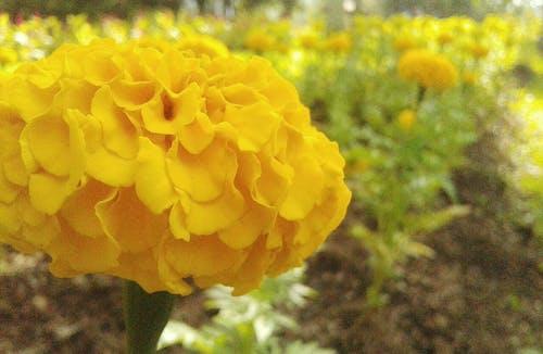 Gratis lagerfoto af blomst dahlia, blomsterhave, lyset af den stigende sol, naturlandskab