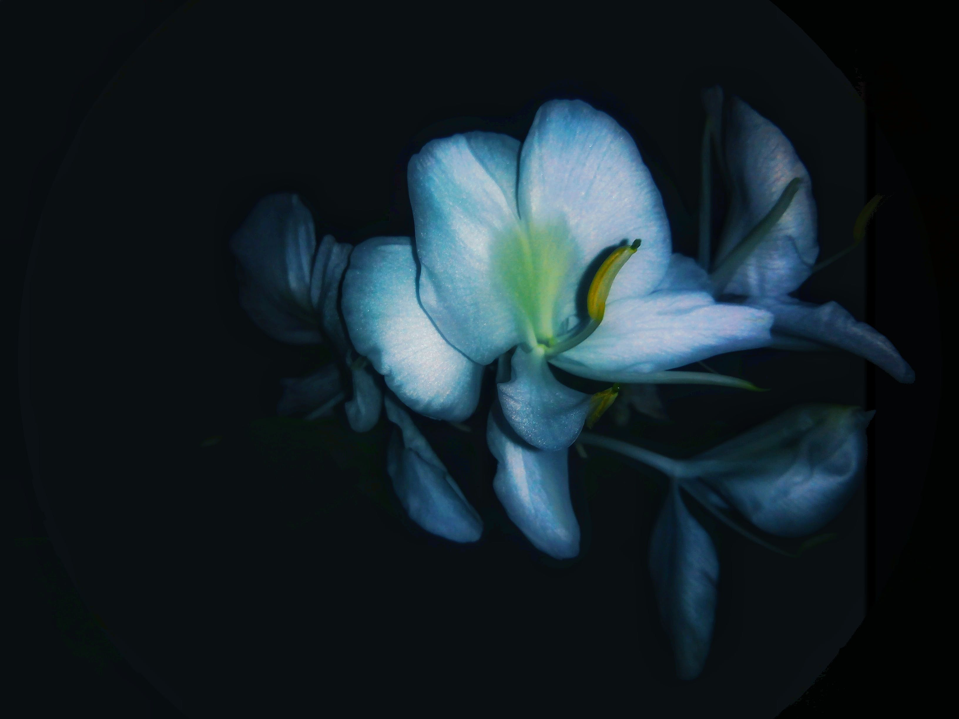 Free stock photo of Blue white petals of night