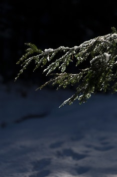 Photo of Pine Tree Leaves With Snow