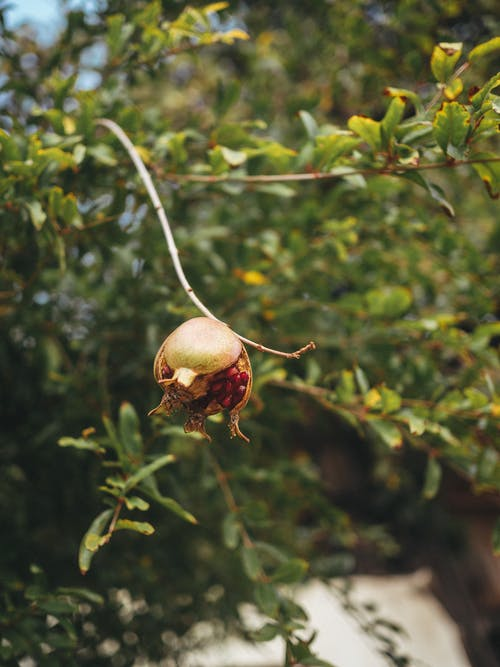 Selective Focus Photo of a Pomegranate Hanging on a Twig