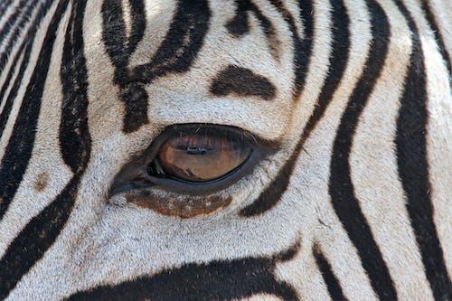 คลังภาพถ่ายฟรี ของ การถ่ายภาพสัตว์, ขน, ตา, ป่า