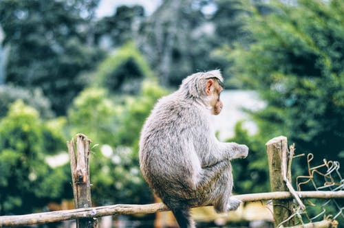 Gray Monkey on Brown Wooden Fence