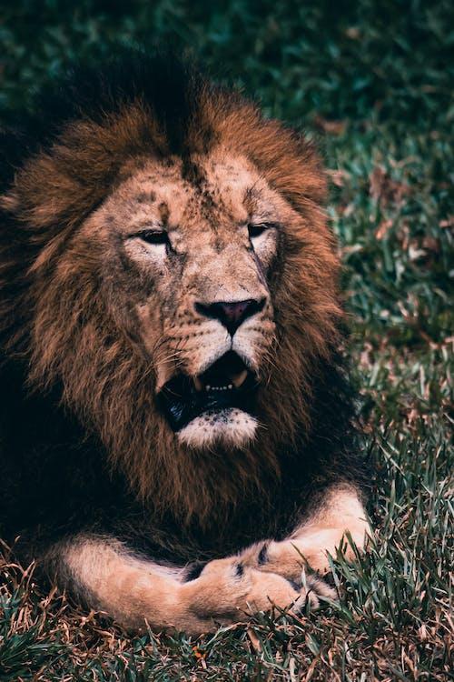 Δωρεάν στοκ φωτογραφιών με βασιλιάς των λιονταριών, ζωικό βασίλειο, ζωικού κόσμου