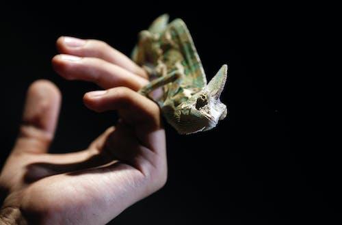 Photos gratuites de animal, caméléon, faune, macro