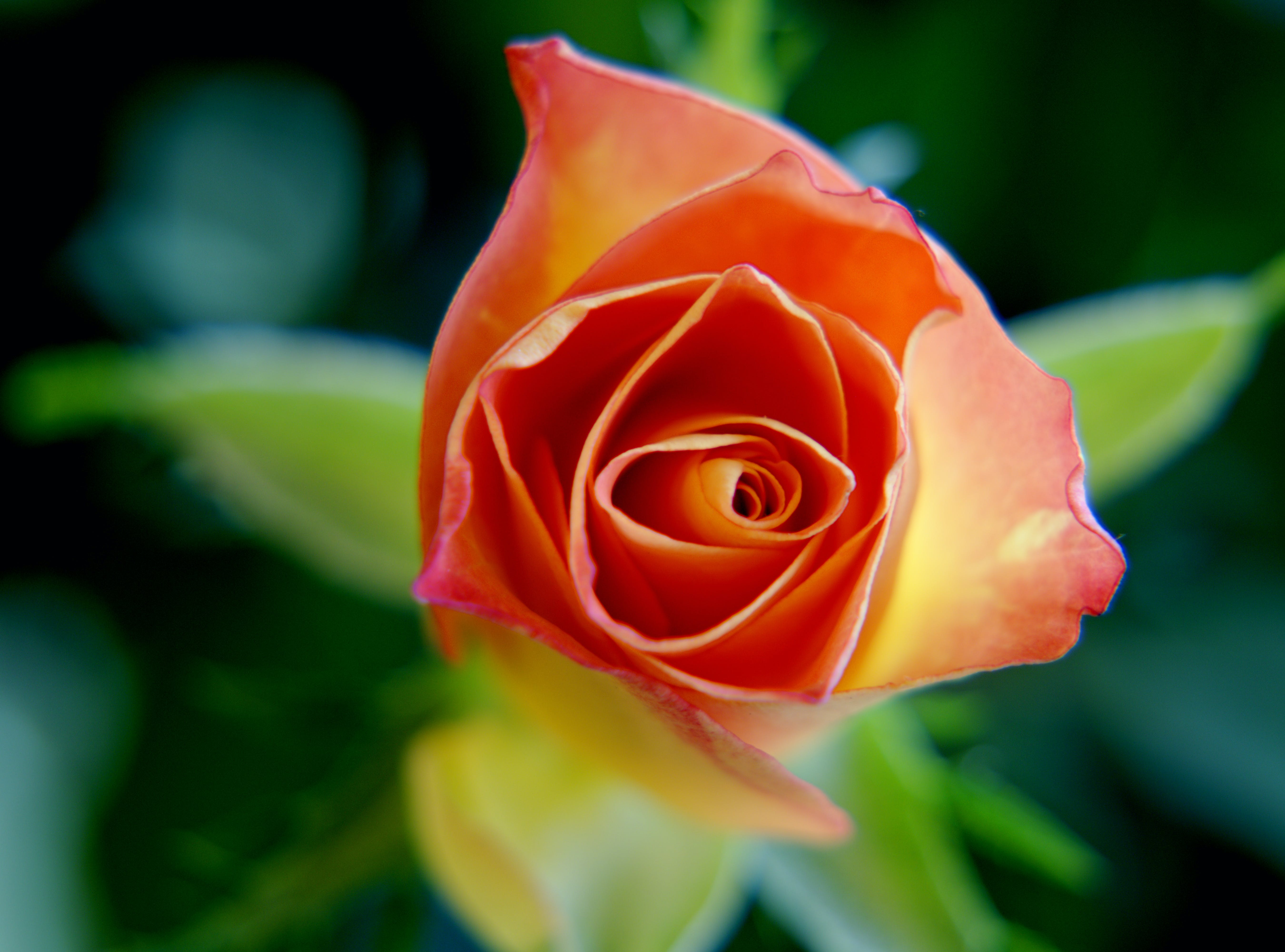 Selective Photo of Orange and Yellow Rose