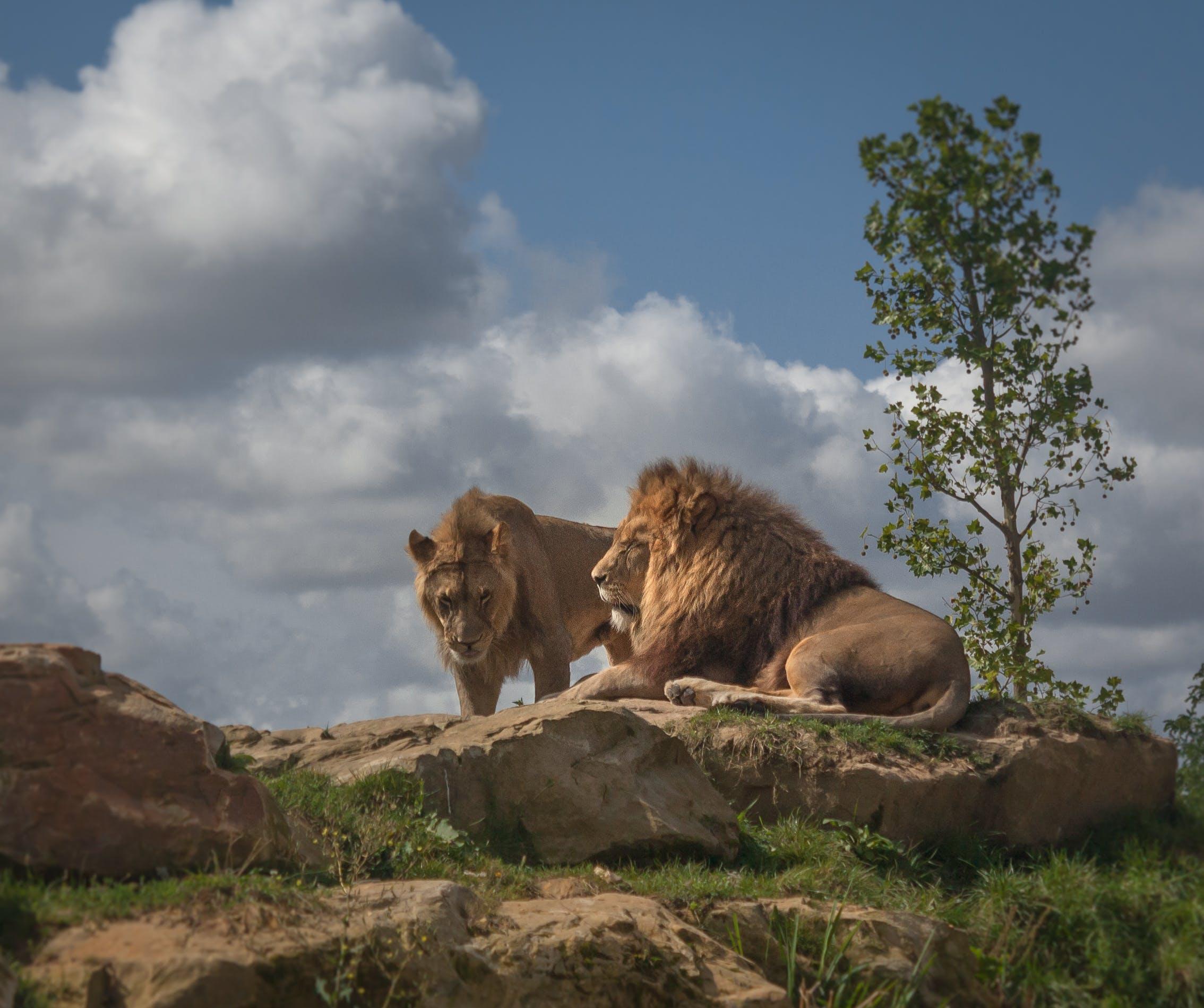Kostenloses Stock Foto zu tier, zoo, könig, löwe