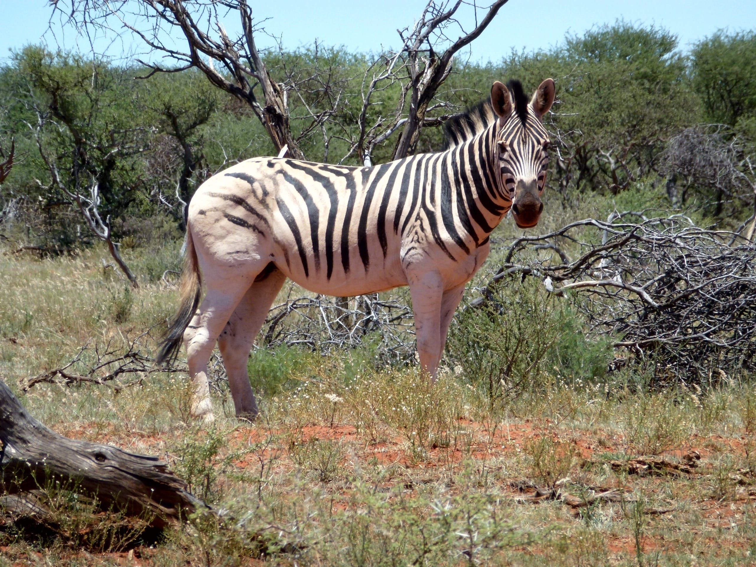 Zebra Near Log and Bushes
