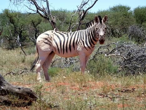 Zebra Near Log and Bushes