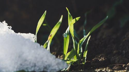 Ilmainen kuvapankkikuva tunnisteilla jauhettu, kasvi, kasvu, lumi