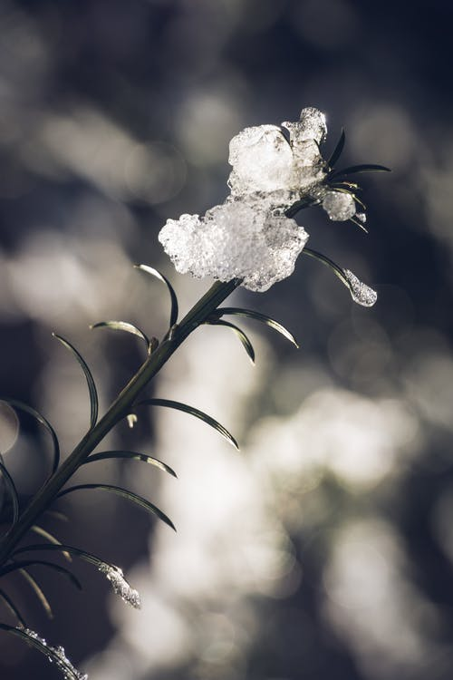 Plant Covered With Ice