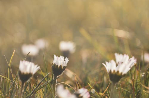 Free stock photo of close up view, daisies, early morning