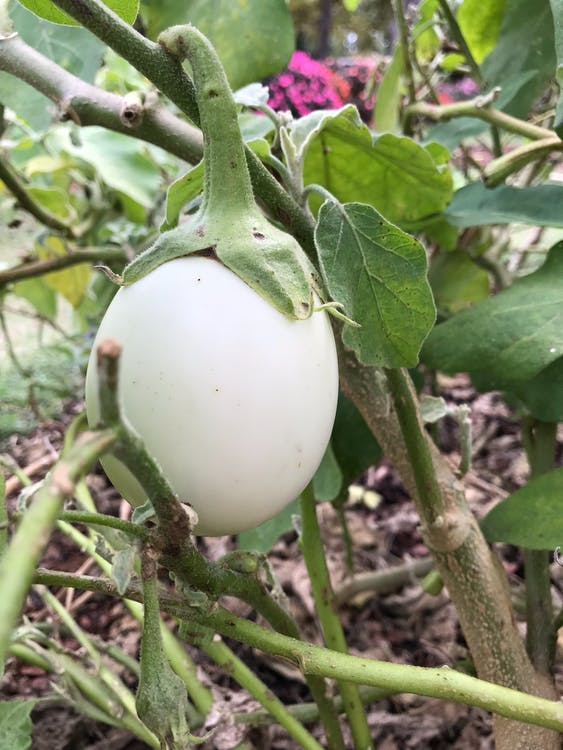Free stock photo of egg, eggplant, plant