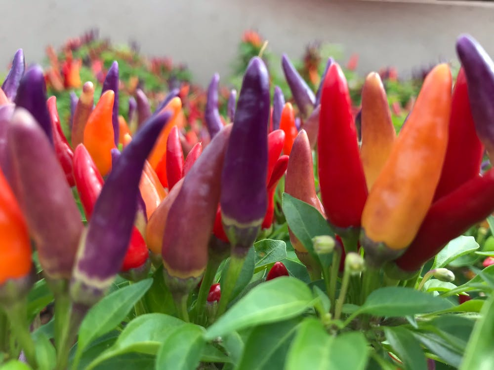 Free stock photo of bell pepper, christmas lights, color flowers