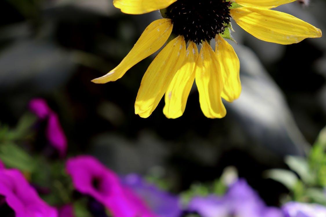 คลังภาพถ่ายฟรี ของ ดอกทานตะวัน, ดอกไม้สวย, สีเหลือง