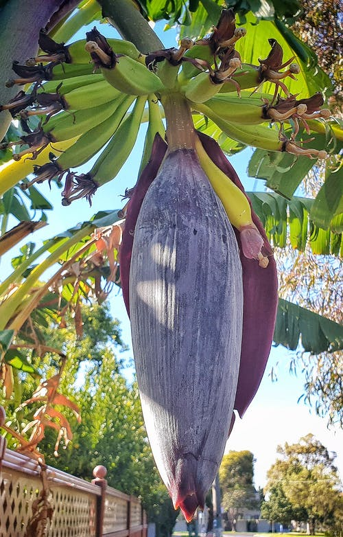 Free stock photo of banana blossum, banana flower, banana tree