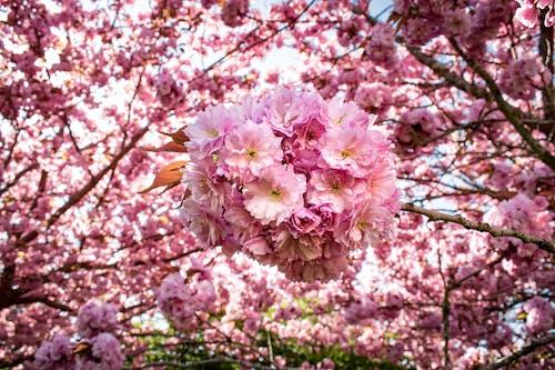 Základová fotografie zdarma na téma jarní pozadí, kvést, květ třešně