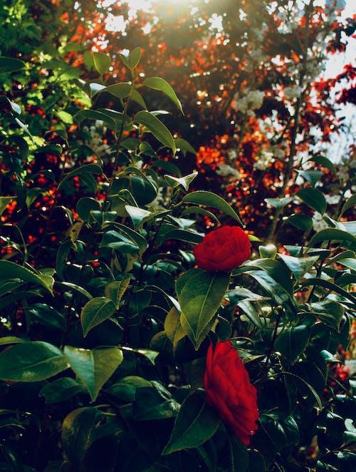 Immagine gratuita di albero, fiori, fiori rossi