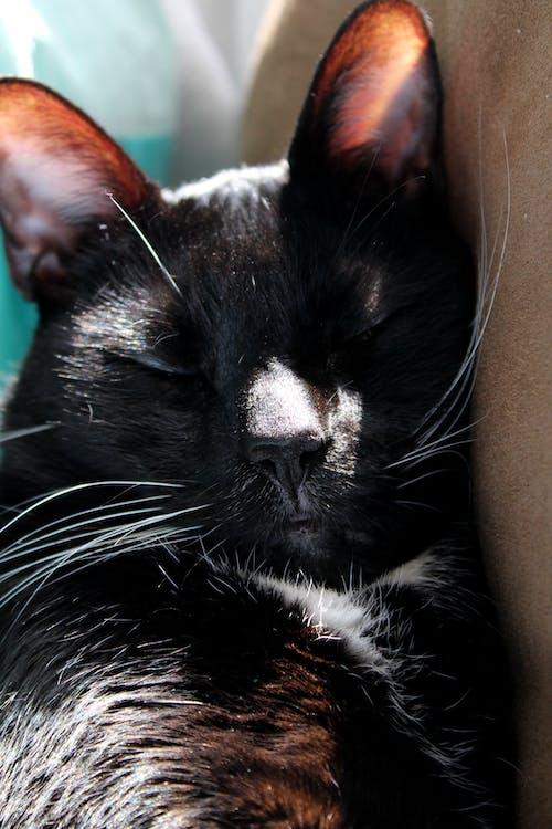 Fotobanka sbezplatnými fotkami na tému mačka, portrét domáceho miláčika, spiaci, zdriemnutie