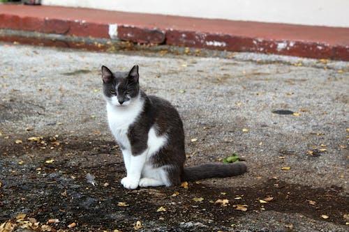 Fotobanka sbezplatnými fotkami na tému bez domova, biela a sivá, mačka