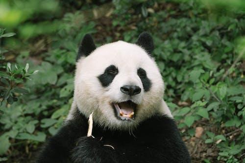 Close-Up Shot of a Panda Bear