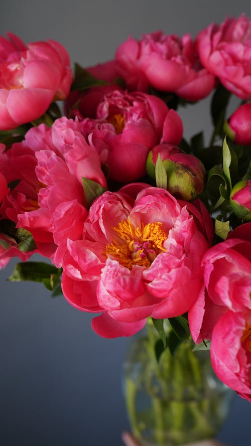 Bunch of blooming fragrant peonies with pink petals and green stalks placed in glass vase on gray background in light room