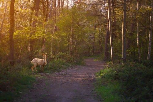 Brown Deer on Road