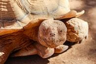 Brown Turtle