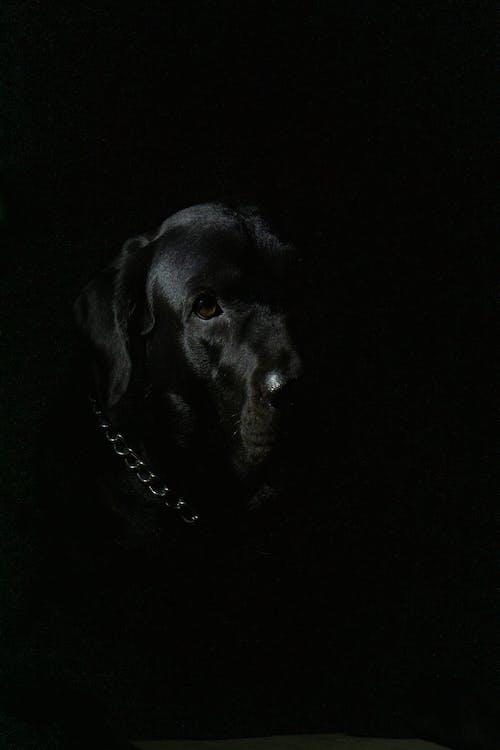Black Labrador Retriever With Black Background