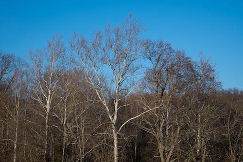 Gratis arkivbilde med bladløse, sycamore tree, trær