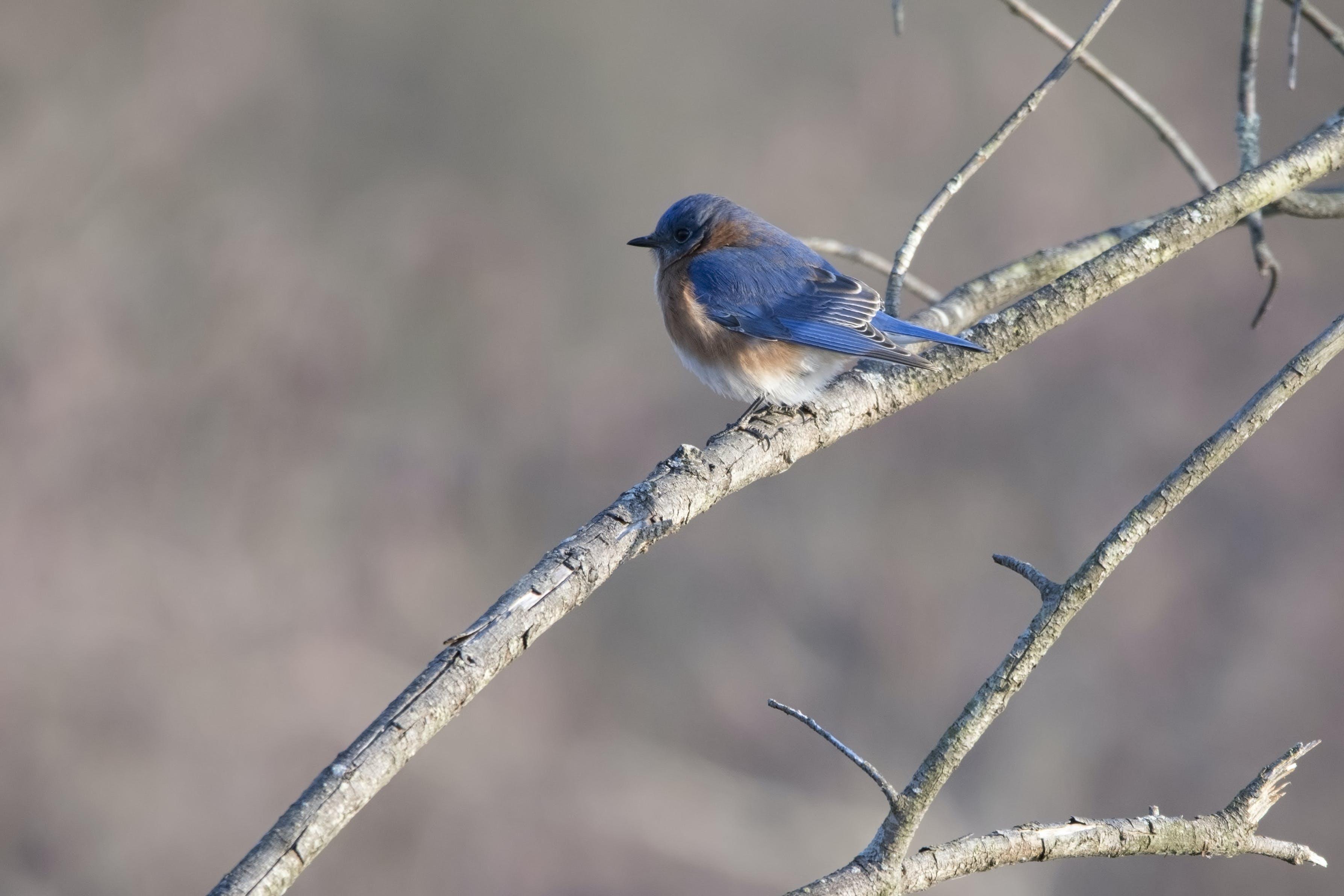 Free stock photo of Bluebird